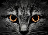 黑色的猫眼部特写高清图片