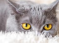 高贵冷艳的小黑猫特写图片