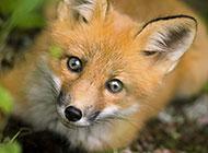 可爱的纯种赤狐动物壁纸