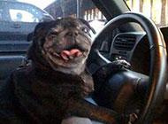 狗狗爆笑图片之带你去兜风