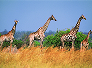 非洲大草原野生长颈鹿图片欣赏