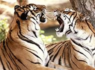 怒吼的老虎动物高清壁纸欣赏