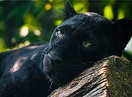 大型猫科动物黑豹高清图片