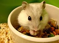 超萌可爱的仓鼠高清图欣赏