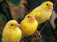 高贵笼养观赏鸟金丝雀鸟图片