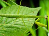可爱的螳螂昆虫高清图片