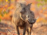 性情凶猛的非洲野猪图片