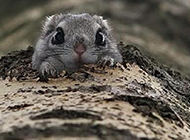 超萌宠物日本小飞鼠图片