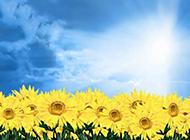 阳光下的唯美向日葵图片