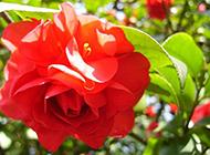 花色艳丽的红茶花凤仙特写图片