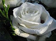 盛开的各色玫瑰花高清摄影图片