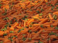 刚出土的胡萝卜植物图片