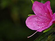 雨后的锦绣杜鹃花图片欣赏