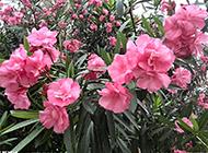 路边常见最毒植物之一夹竹桃图片
