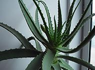 室内盆栽芦荟龙爪植物图片