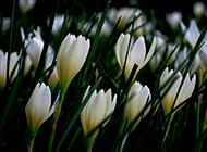 路边常见的绿化植物葱兰图片欣赏