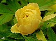 中国稀有黄色牡丹花植物图片