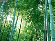 翠绿的竹林高清图片素材