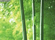 清新脱俗的竹子摄影图片