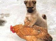 超搞笑动物图片之捉母鸡