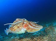 神秘的海洋动物墨鱼图片