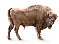 野生动物牦牛高清图片