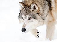 雪地里的西伯利亚狼图片