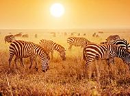 非洲草原上的斑马高清图片