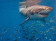 海底凶猛的鲨鱼图片