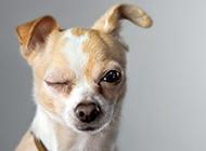 超可爱的小型宠物狗狗图片
