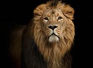威武雄壮的狮子图片特写