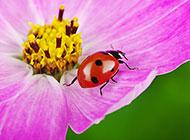 可爱的七星瓢虫高清图片