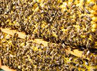 勤劳的小蜜蜂高清摄影图片