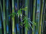 绿色清新的竹子养眼壁纸