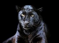 凶猛的黑豹高清图片赏析