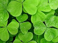 绿色植物三叶草高清背景图片