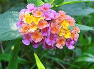 艳丽唯美的绣球花图片