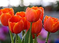 雨后的郁金香图片欣赏