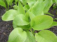 菜园子的绿叶蔬菜摄影图片