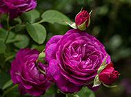 唯美的单朵紫色玫瑰图片赏析