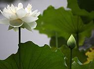 池中唯美绽放的白莲花图片