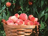 成熟的水蜜桃树植物图