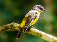 树枝上的小鸟摄影图片