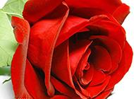 一只精美的鲜红玫瑰花图片