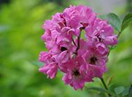 春天绽放的紫色野花图片