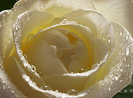 纯洁高贵的白玫瑰高清图片