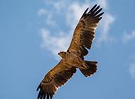 蓝天下飞翔的老鹰图片
