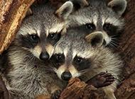 超萌小浣熊可爱动物壁纸精选