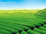 绿色清新的茶田风光电脑壁纸