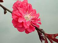 怒放的桃花唯美图片